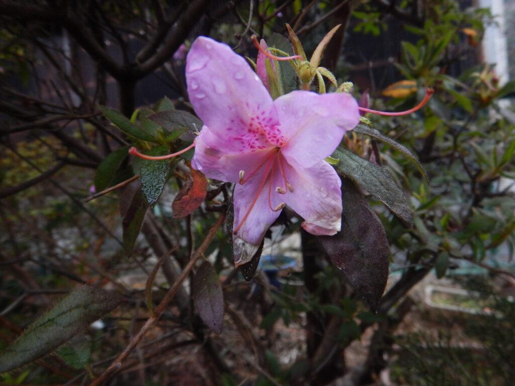冬に咲くツツジ