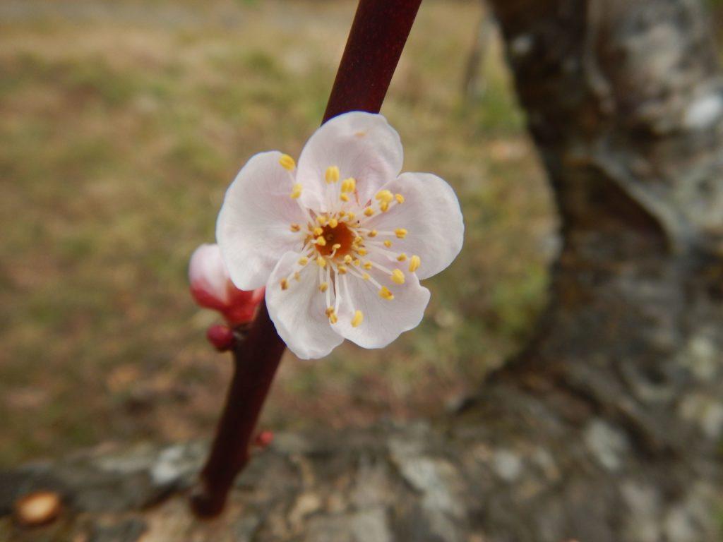 梅の花が一輪