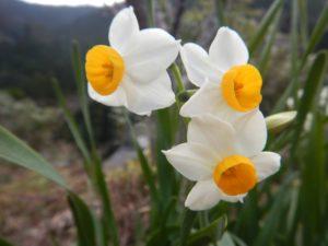 近くで水仙も咲きました