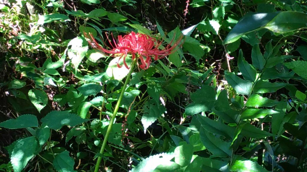 秋に独特の花を咲かせる彼岸花