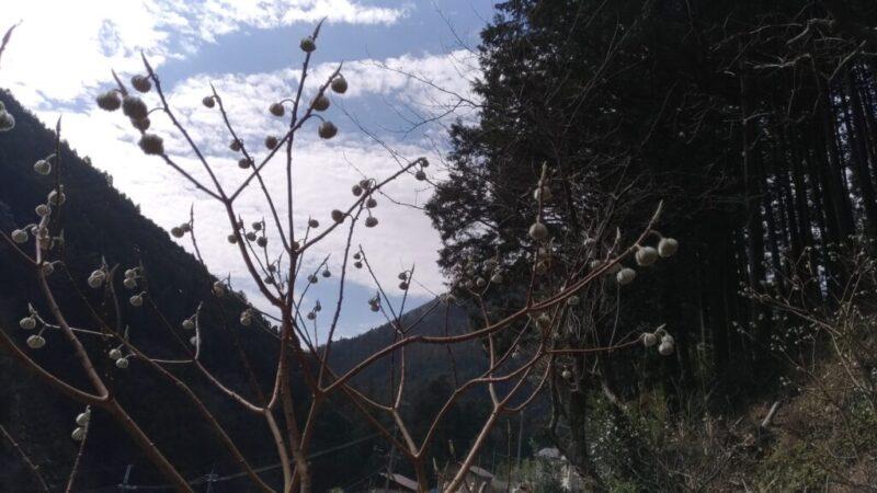 枝が3方向に分かれるミツマタ
