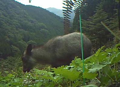 雑草を食べるカモシカ