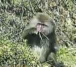 草を食べる猿