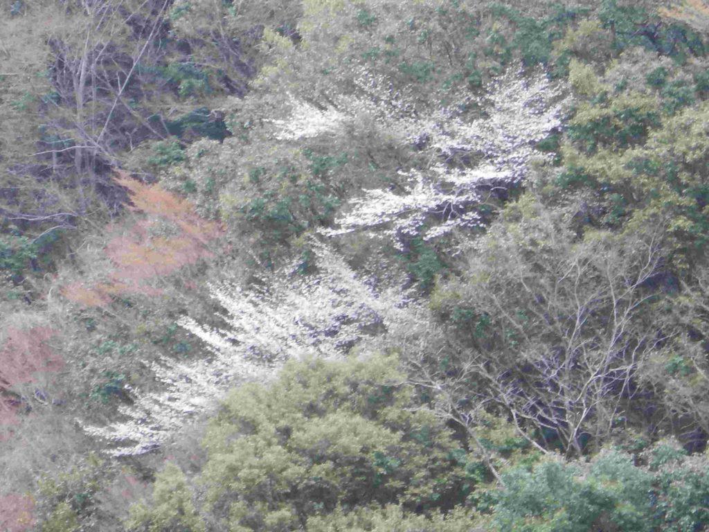 森林の中に咲く山桜