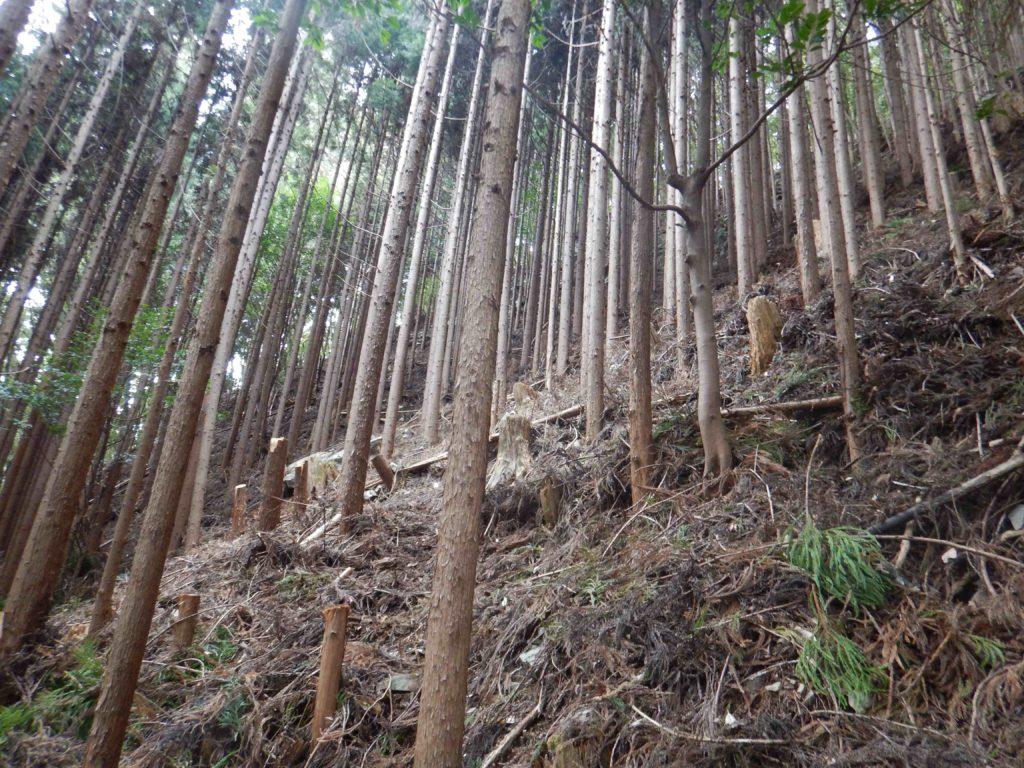 折れ曲がった樹を切り倒した後