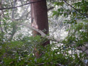 幹が削られている杉