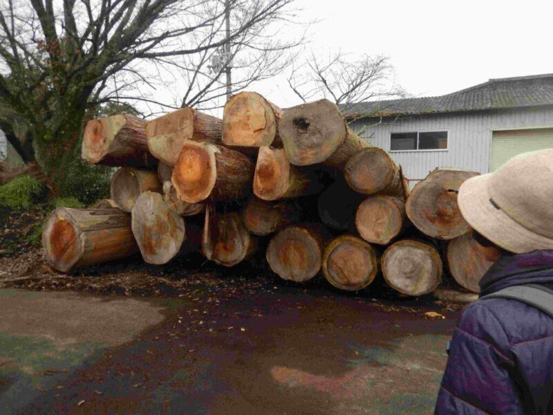 市を待つ樹齢250年の杉