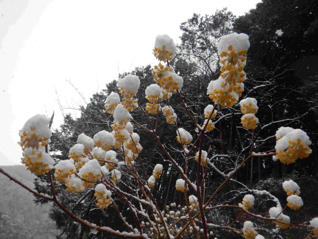 ミツマタの花に雪