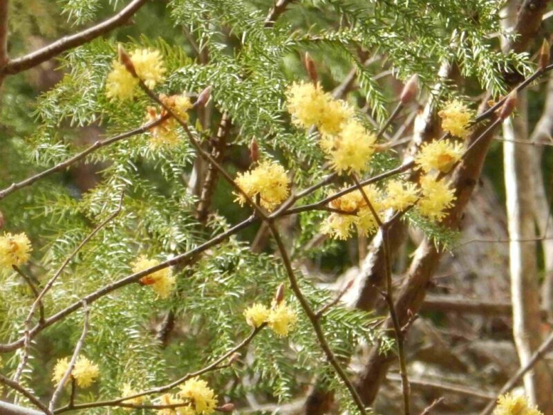 壇香梅の花