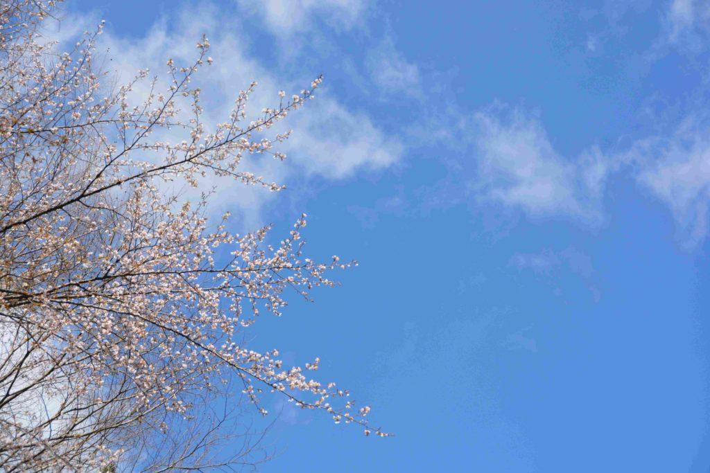 家の近くで咲く山桜