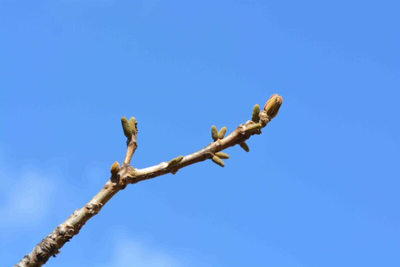 クルミの新芽