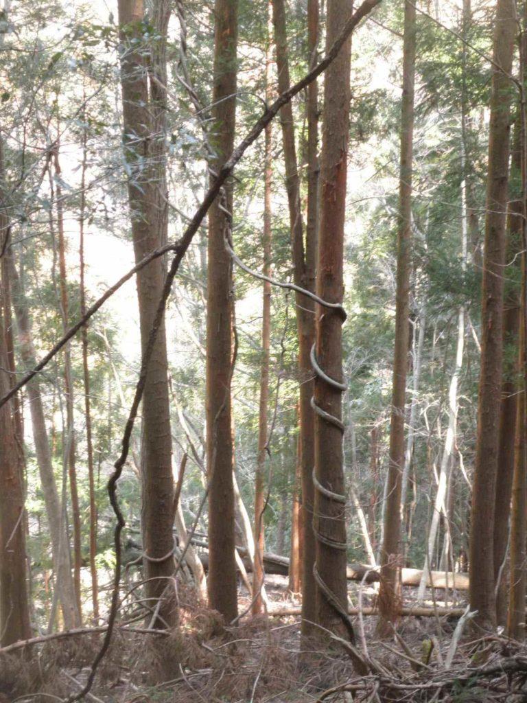 葛が巻き付いた杉