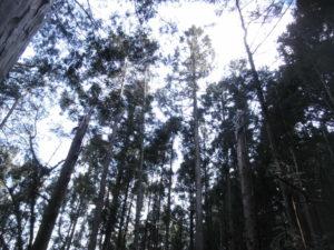台風で折れた杉