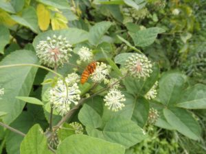 ウドの蜜を吸うハチ