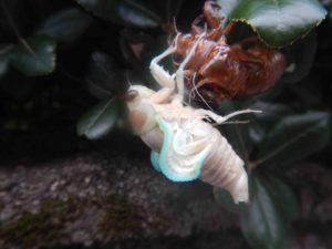 セミの孵化