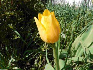 チューリップも咲きました