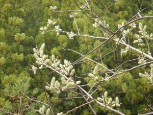 バッコヤナギの花序