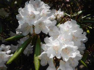 真っ白なシャクナゲの花