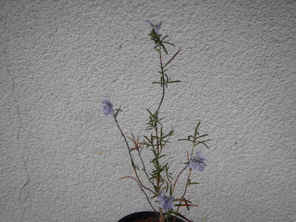 ローズマリーの鉢植え