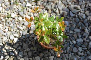 実生を鉢植えしたウバメガシ