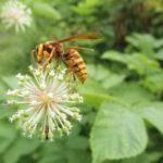 ウドの花とハチ