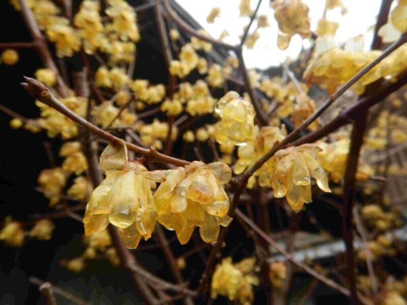 花が散る前のロウバイ(1月29日)