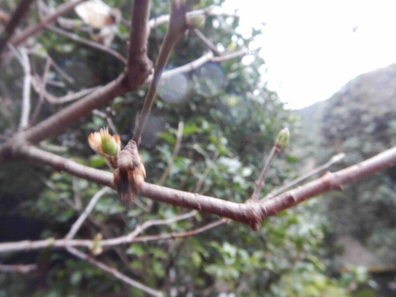花の後に実を付けました(3月27日)