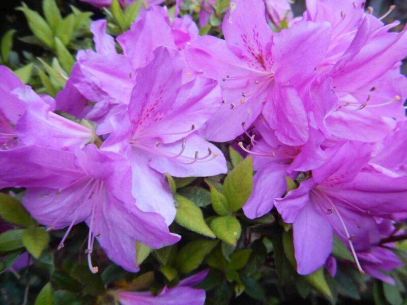 庭で暮れから咲くツツジ