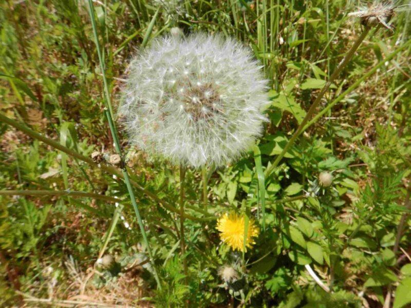 カントウタンポポの花と綿毛