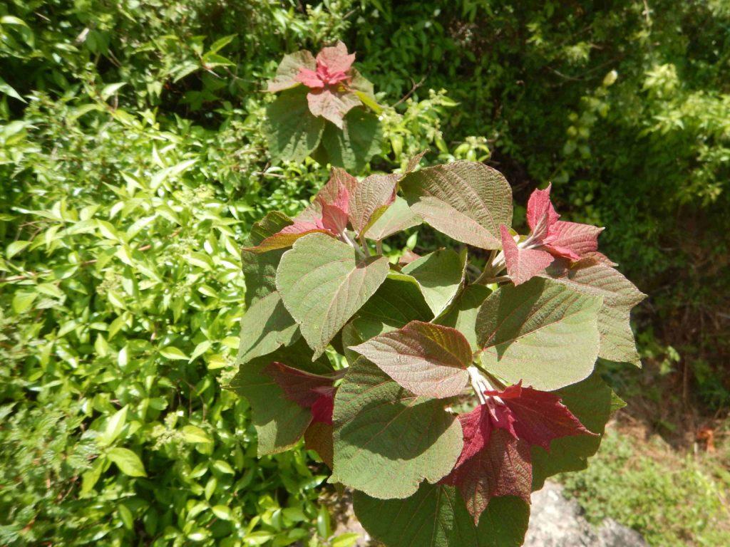 緑が濃くなってきたアカメガシワ(5月5日)