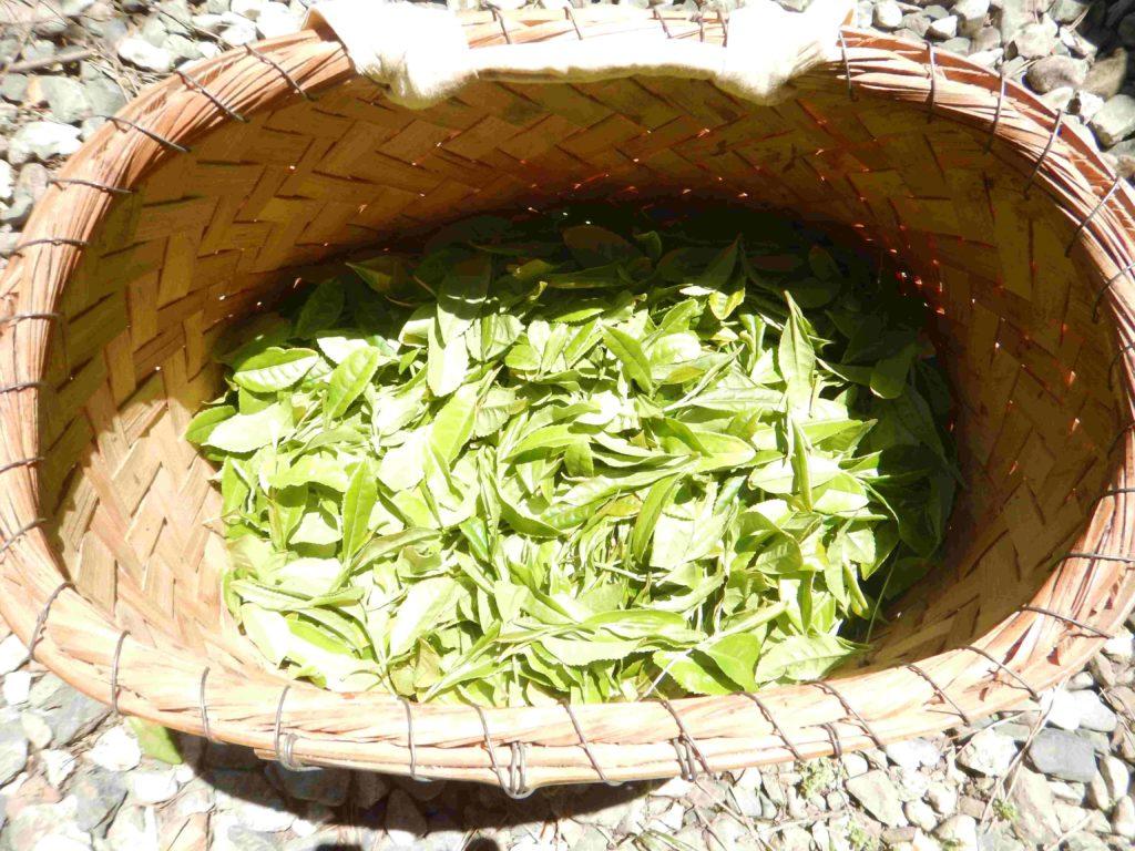 かごに摘んだ茶葉