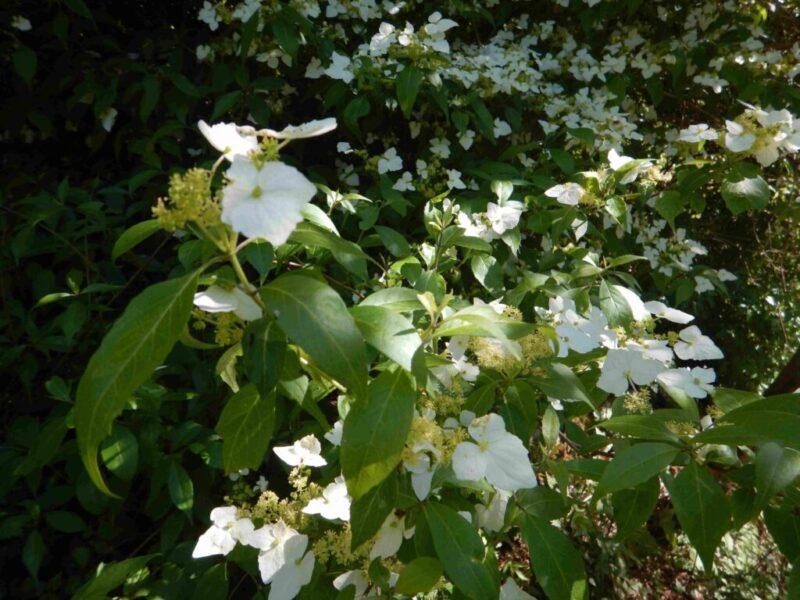 樹全面に咲いたガクウツギ