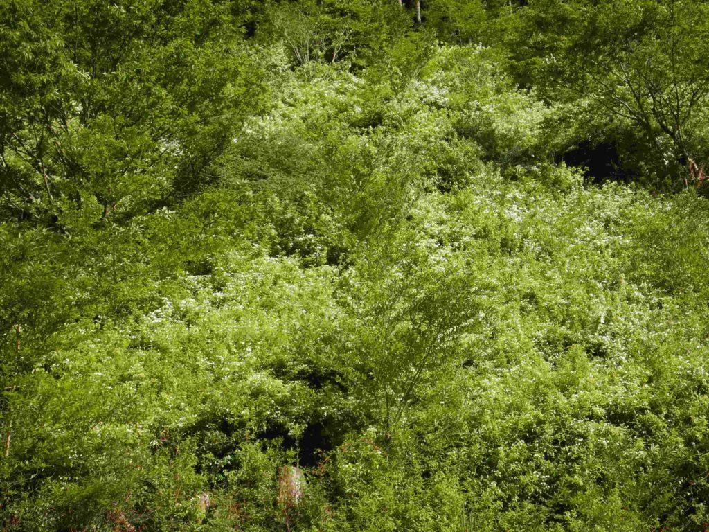 広い林地に生えたガクウツギ