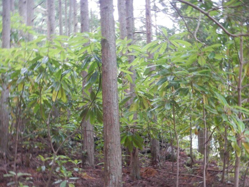 林地で繁殖したユズリハ