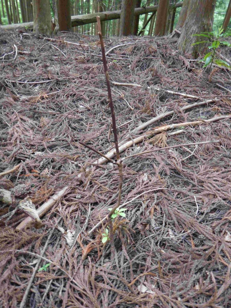 葉や幹を食べられたユズリハ
