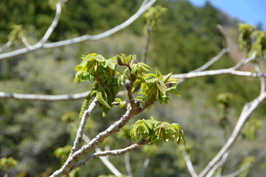 葉と花序の形成-4月25日