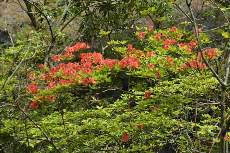山で咲く赤いツツジ