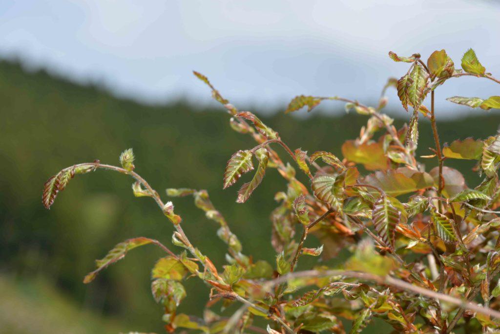 庭のブナの新緑