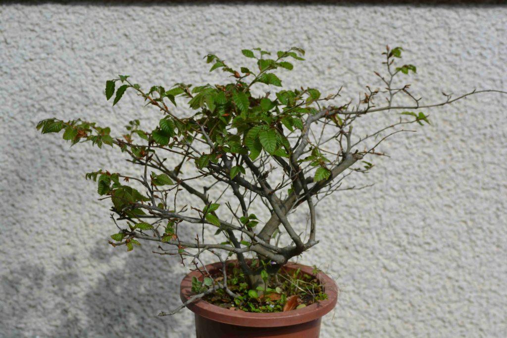 取り木をしたブナ