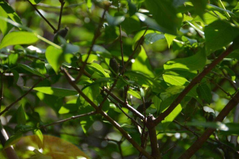 ロウバイの新緑と実(5月5日)