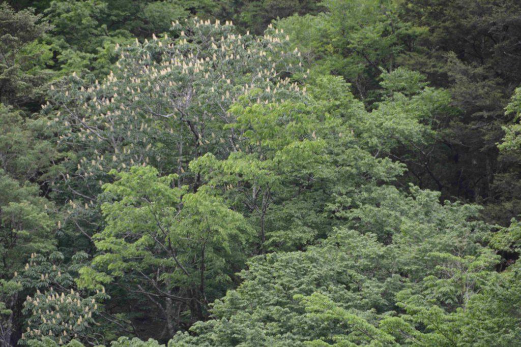 中腹に咲いたトチノキの花(拡大)