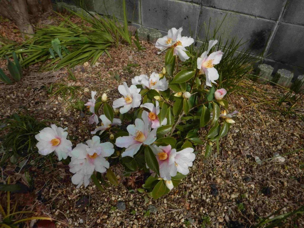 椿の花「夢」