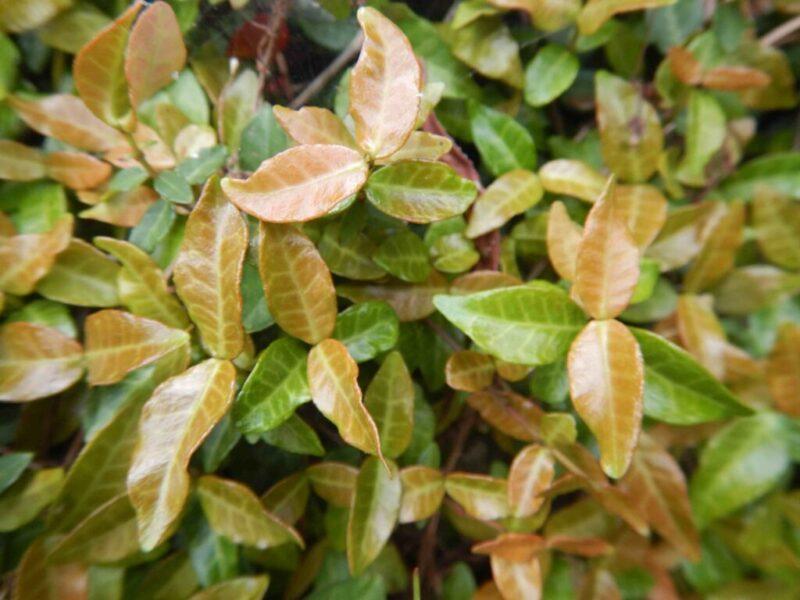 テイカカズラ・スイカズラの花