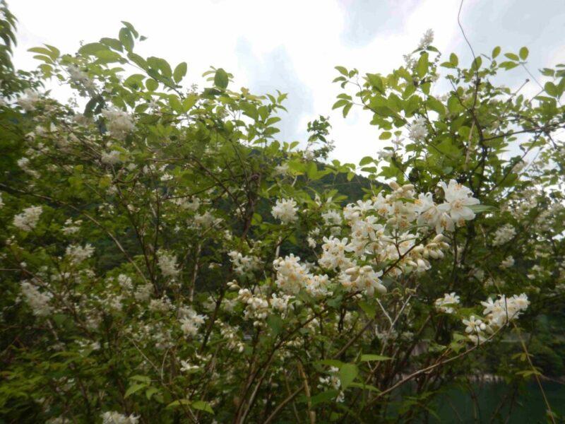 ウツギ・ヤブウツギの花も綺麗です