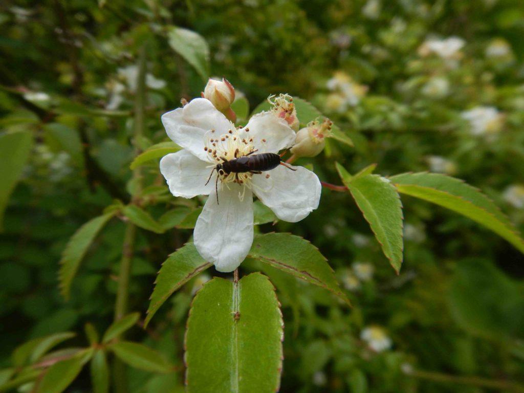 ノイバラの蜜を吸う昆虫