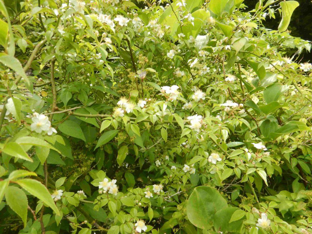 ノイバラの花々