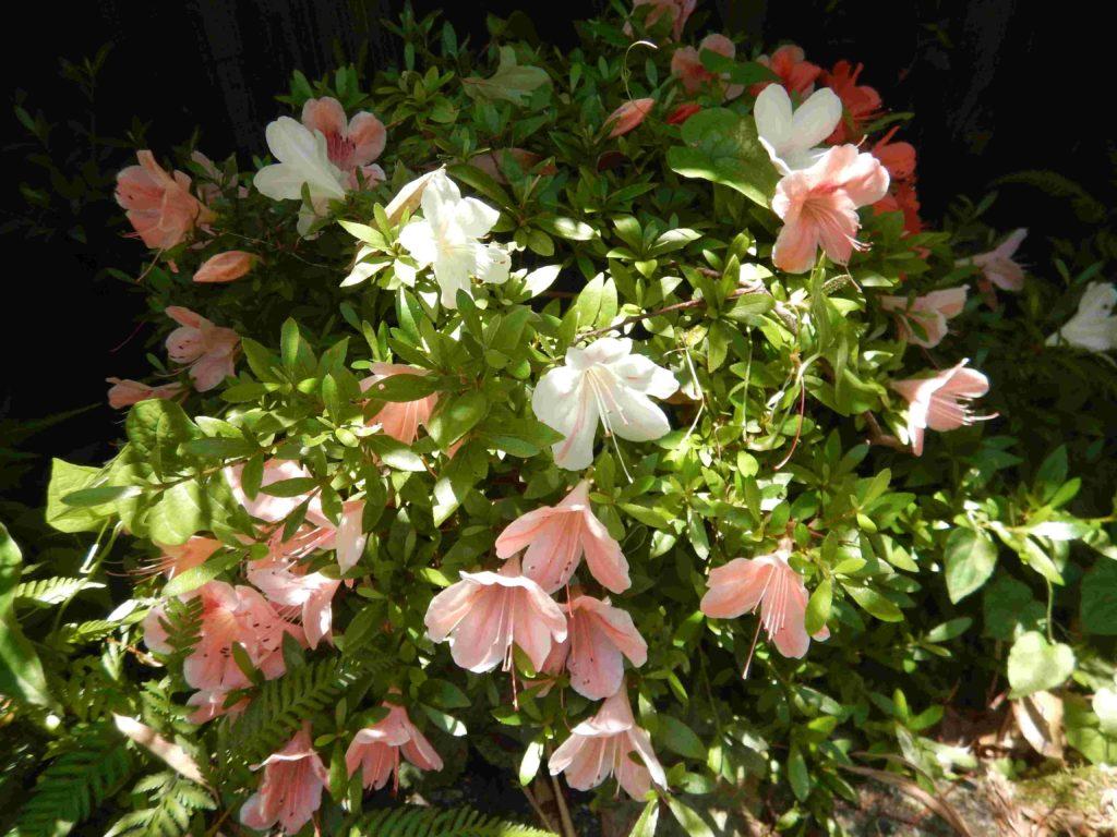 白とピンクの花が咲くサツキ
