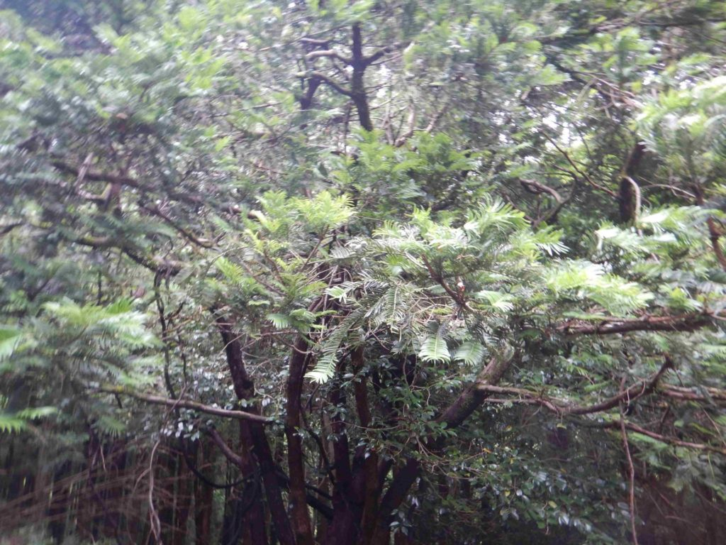 イヌガヤの樹