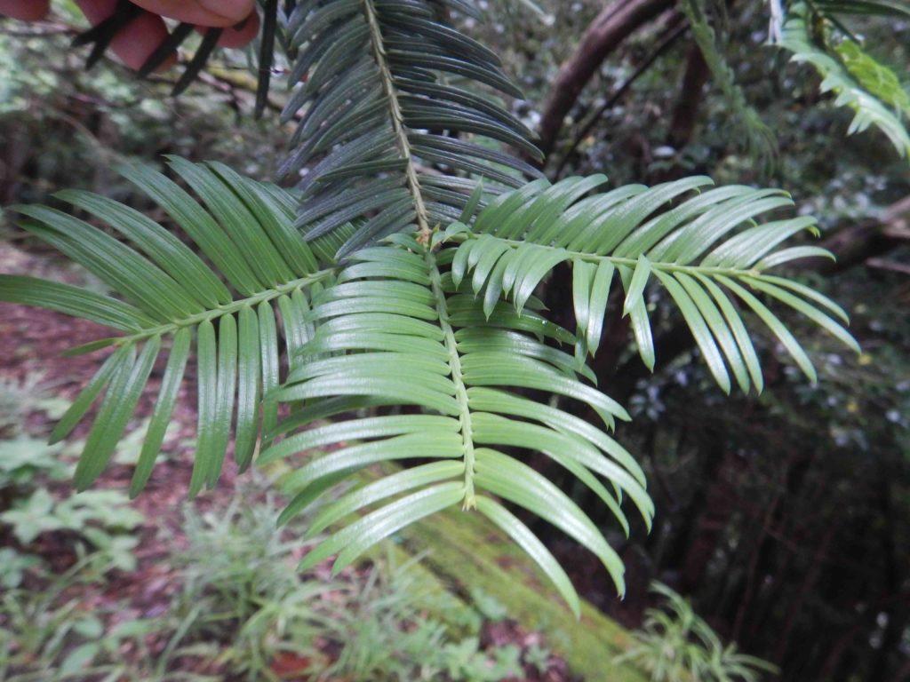 イヌガヤの葉