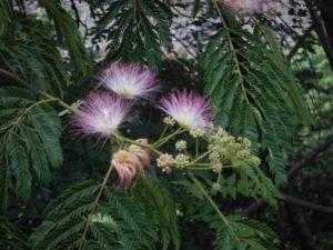 ネムノキの花達